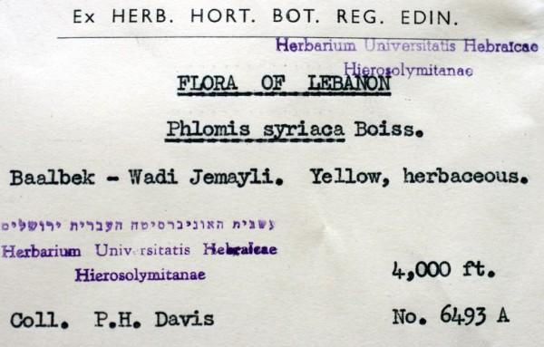 שלהבית סורית Phlomis syriaca Boiss.