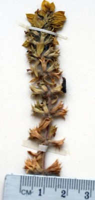 Sideritis montana L.