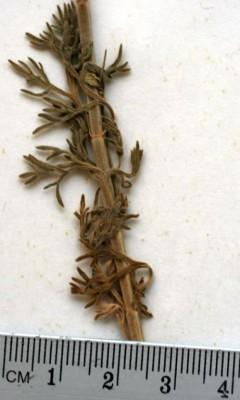 געדה מאובקת Teucrium pruinosum Boiss.