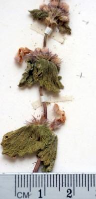 נזמית מזרחית Lamium orientale (Fisch. & C.A.Mey.) E.H.L.Krause
