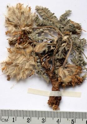 קדד צמיר Astragalus lanatus Labill.