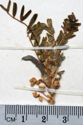 קדד עקרבי Astragalus scorpioides Pourr. ex Willd.