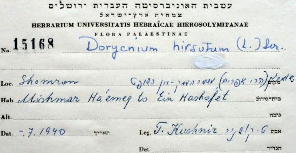 אחילוטוס שעיר Dorycnium hirsutum (L.) Ser.