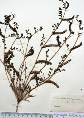 Hippocrepis biflora Spreng.