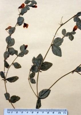 טופח החרמון Lathyrus roseus Steven