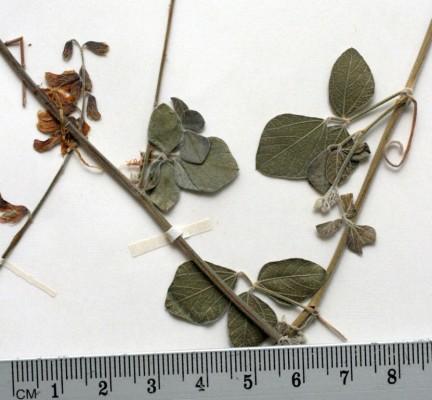 חרטום זעיר Rhynchosia minima (L.) DC.