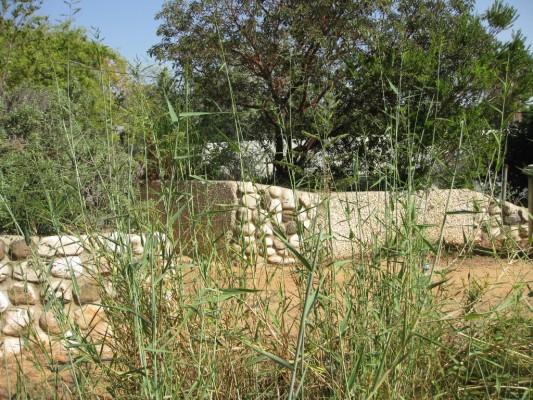 Urochloa mutica (Forssk.) Nguyen