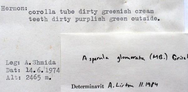 חספסנית כדורית Asperula glomerata (M.Bieb.) Griseb. var. capitata (Labill.) Boiss.