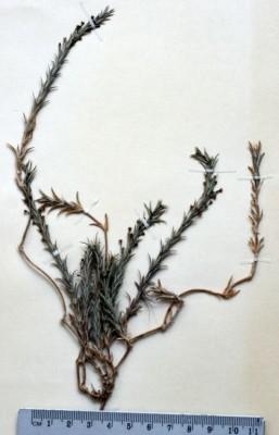 צלבית עבר-הירדן Crucianella transjordanica Rech.f.