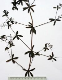 עשב רב-שנתי קירח הגדל בביצות ובמים, גובהו 150-60 ס
