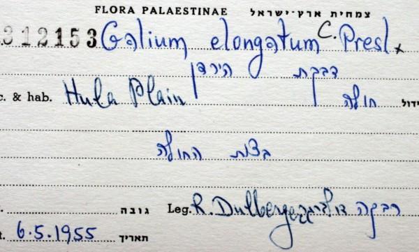 דבקת הירדן Galium elongatum C.Presl