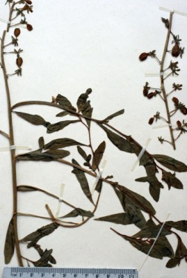 רכפה ריחנית Reseda odorata L.