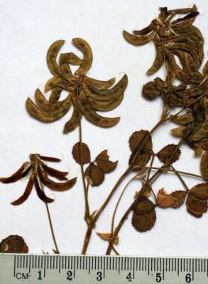גרגרנית מקרינה Trigonella balansae Boiss. & Reut.