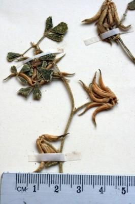 גרגרנית יהודה Trigonella sibthorpii Boiss.