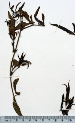 בקיה אנטולית Vicia bithynica (L.) L.