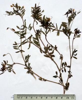 בקיית החולה Vicia hulensis Plitmann