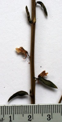 עפעפית סיני Kickxia macilenta (Decne.) Danin