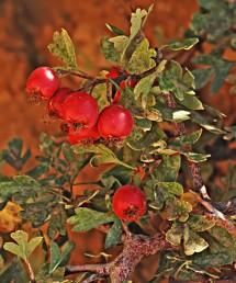 גדל ביער ההררי בחרמון. פירותיו האדומים מכילים 3-2 גלעינים (מהסימנים המבדילים בינו לבין ע. חד-גלעיני).