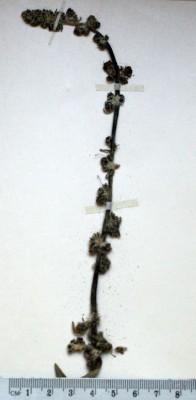 בוצין הארזים Verbascum cedreti Boiss.