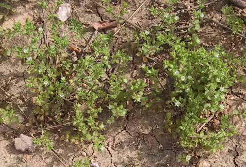 ארנריה מצויה Arenaria leptoclados (Rchb.) Guss.