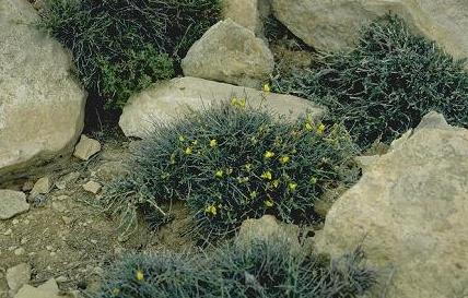 כספסף רחב-פרי Argyrolobium crotalarioides Jaub. & Spach