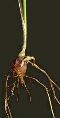 Arrhenatherum palaestinum Boiss.