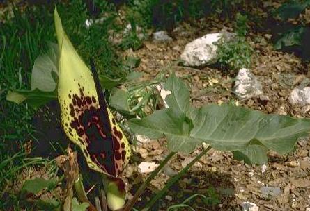 לוף מנומר Arum dioscoridis Sm.