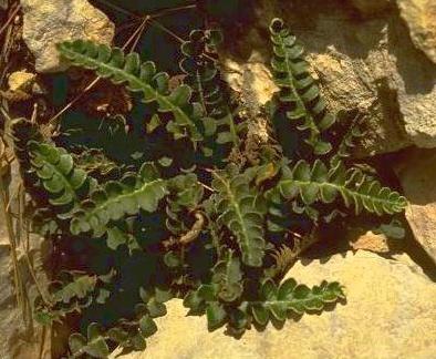 Asplenium ceterach L.