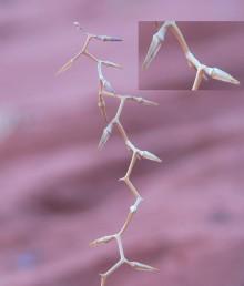 נדיר, גדל בחולות בדרום אדום. ענפי התפרחת בעלי מופע זיגזגי טיפוסי. הפרי דומה לשל דו-פרק חופי אך עדין יותר.