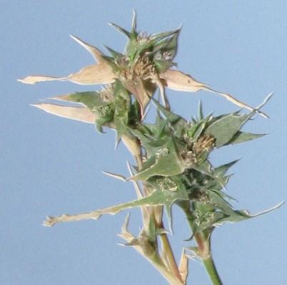 Crypsis vaginiflora (Forssk.) Opiz