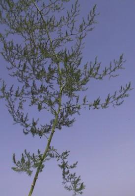 אספרג ארץ-ישראלי Asparagus palaestinus Baker