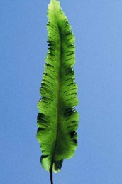 העלים מוארכים, תמימים, בעלי אונות בבסיסם. אורך הטרף גדול מרוחבו פי 8-6 ויותר.