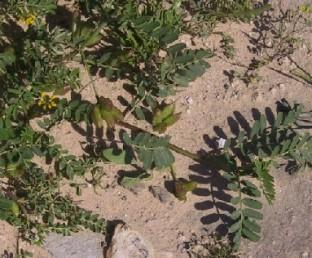 צמחים  מקריחים, זקופים או שרועים.