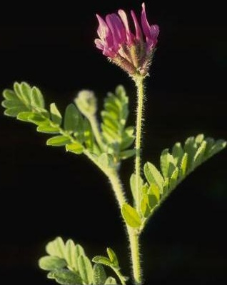 קדד יפה Astragalus callichrous Boiss.
