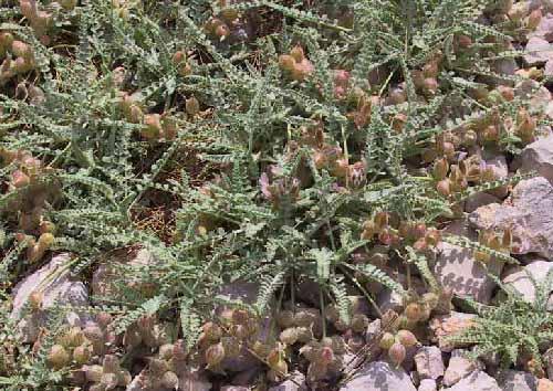 קדד קרקשי Astragalus coluteoides Willd.