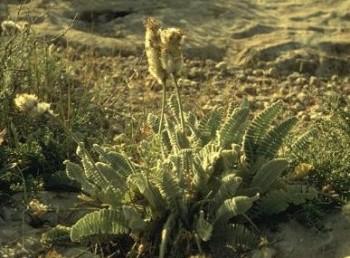 התפרחות נישאות על עוקצים שאורכם עולה על אורך העלים.