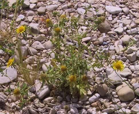 Asteriscus graveolens (Forssk.) Less.
