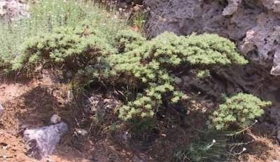 לשיח צורת חרוט, כלומר ענפים רבים מסתעפים מצוואר השורש.