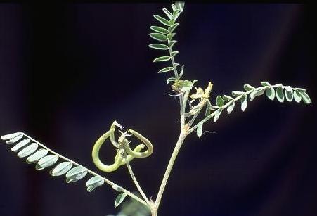 קדד האנקולים Astragalus hamosus L.