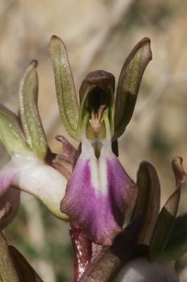 סחלב השקיק Orchis collina Banks & Sol.