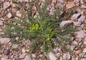 התפרחות קצרות מהעלים, צבע הכותרת צהוב, צמחי מדרונות בחרמון.