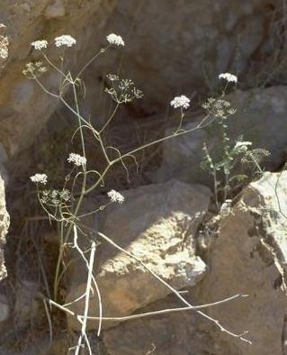 אסתום מצוי Astomaea seselifolium DC.