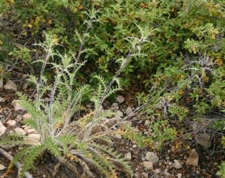 עשב רב-שנתי, העלים והגבעולים מכוסים זיפים אשונים. צמחי בתה ים-תיכונית.
