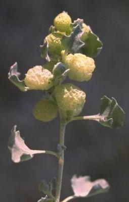 Atriplex holocarpa F.Muell.