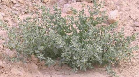 מלוח מלבין Atriplex leucoclada Boiss.