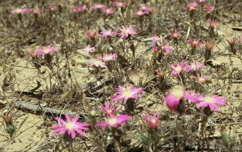 חורשף נאה Atractylis prolifera Boiss.