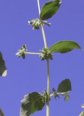 מלוח ההרים Atriplex rosea L.