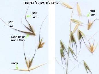 הגלומות שוות או כמעט שוות באורכן ; ציר השיבולית ניתק עם הבשלתו מתחת לפרח התחתון. ביחידת ההפצה 4-3 פרחים.