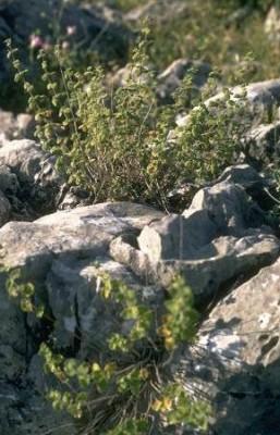 גלונית הסלעים Ballota saxatilis Sieber ex C.Presl