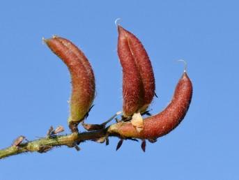 הפרי קצר ורחב, כפוף, קצהו אינו דוקרני בעל שקע לאורך תפר הבטן.